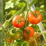 svenska tomater växthus