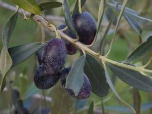 kalamon-oliver-pa-kvist