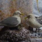 fåglar biologiska museet